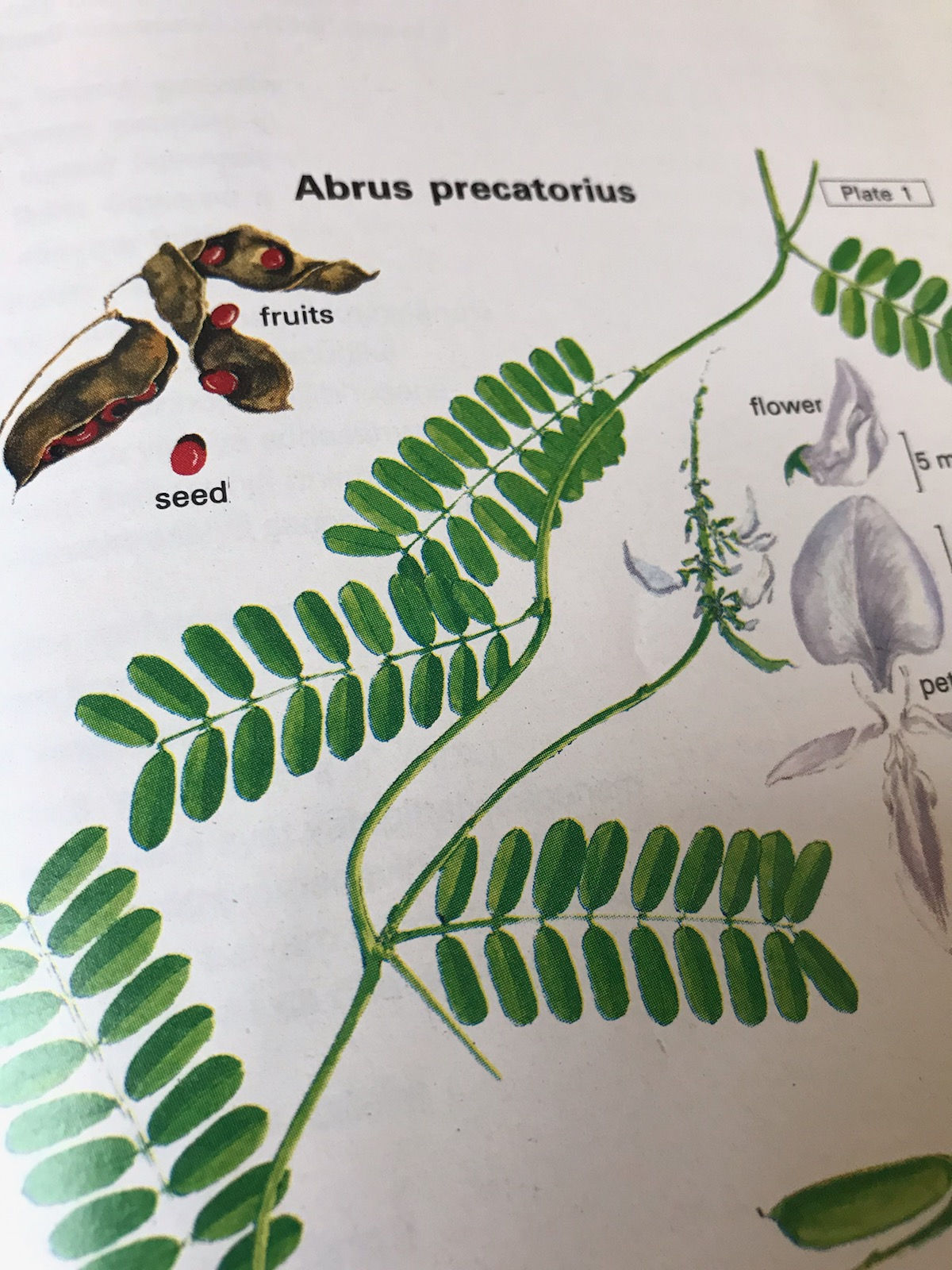 Abrusréglisse Indiennele Toxique Haricot Pater Noster Docphytoplus