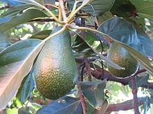 220px-Avocado_18
