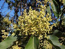 220px-Persea_americana_flowers_2