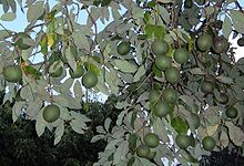 220px-Persea_americana_fruits