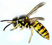 220px-Vespula_germanica-gb