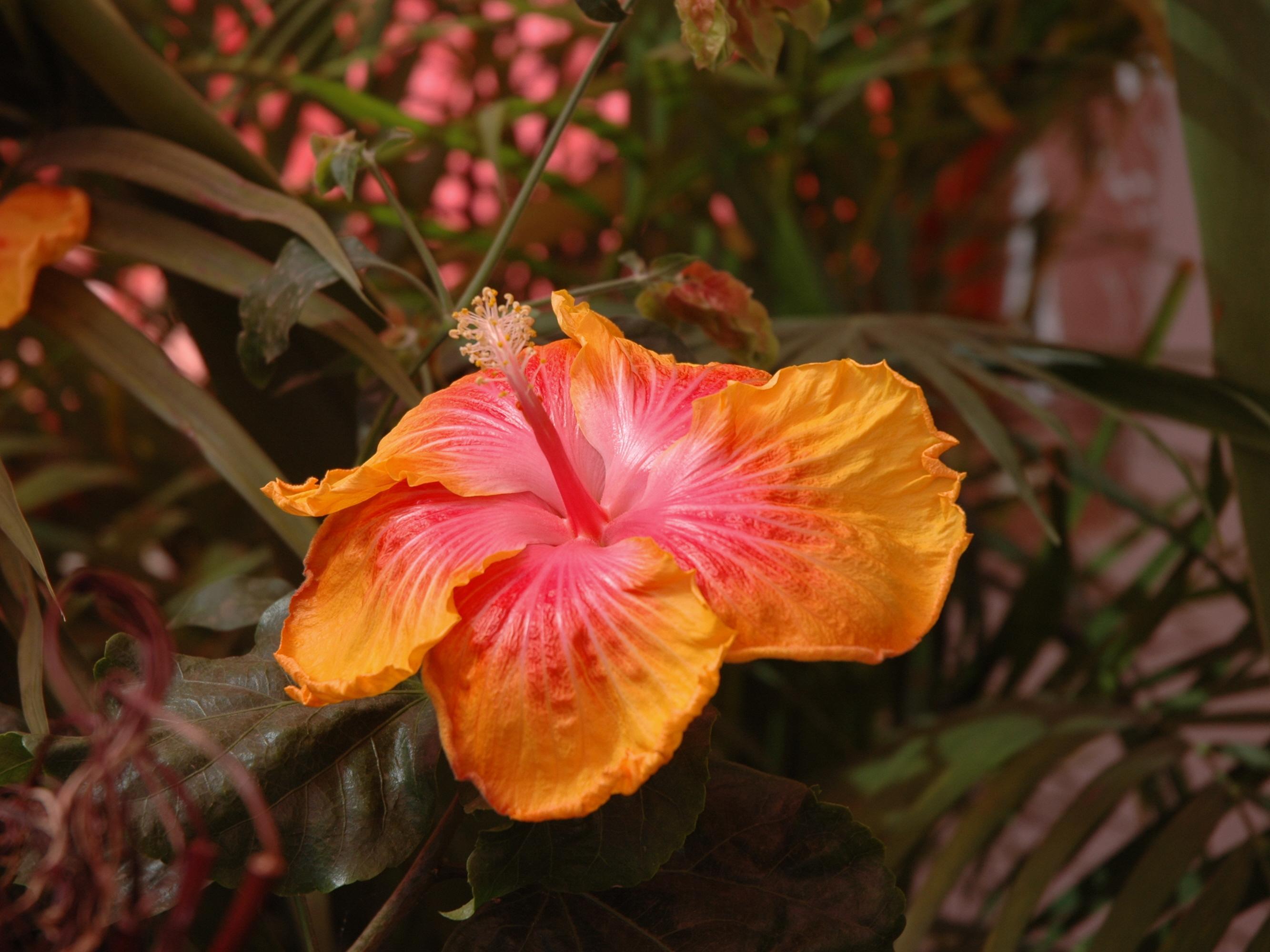 Lantana camara # 799 100 graines changement rose