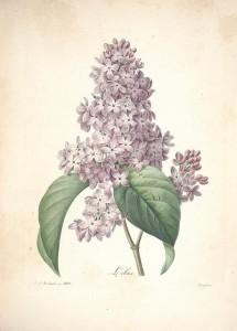 lilas-syringa