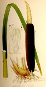 170px-Typha_latifolia_nf
