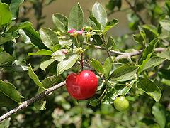 240px-Malpighia_glabra_blossom_and_fruit