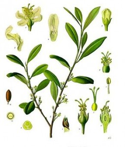 290px-Erythroxylum_coca_-_Köhler–s_Medizinal-Pflanzen-204-1