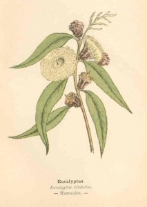 eucalyptus-1