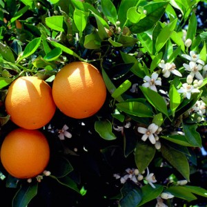 la-fleur-d-oranger-3680858gelln_1370