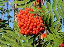 220px-Rowanberries_in_late_August_2004_in_Helsinki