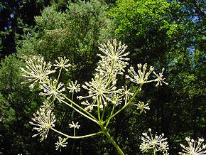 290px-Aralia_californica_flower
