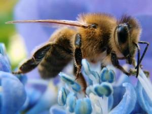 poesie-gentille-abeille_1